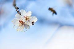 Λουλούδια κεράσι-δέντρων sakura άνοιξη με συμπαθητικό λίγα Στοκ Φωτογραφίες
