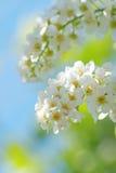 λουλούδια κερασιών πο&upsi στοκ εικόνες με δικαίωμα ελεύθερης χρήσης