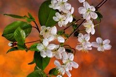 Λουλούδια κερασιών στον κήπο σε ένα φωτεινό φυσικό υπόβαθρο ουράνιων τόξων άνοιξη Τα ίχνη φύσης επάνω την άνοιξη από τη διαχείμασ στοκ εικόνες