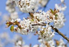 Λουλούδια κερασιών στο άνθος την άνοιξη στοκ φωτογραφίες με δικαίωμα ελεύθερης χρήσης