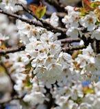 Λουλούδια κερασιών στο άνθος την άνοιξη στοκ εικόνες