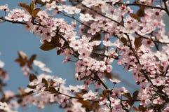 λουλούδια κερασιών Στοκ φωτογραφίες με δικαίωμα ελεύθερης χρήσης