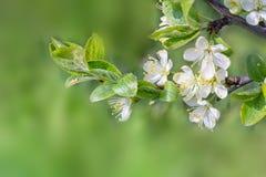 Λουλούδια κλάδων δέντρων της Apple στο πράσινο θολωμένο υπόβαθρο Στοκ φωτογραφία με δικαίωμα ελεύθερης χρήσης