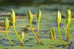 Λουλούδια κρίνων ύδατος στοκ φωτογραφίες