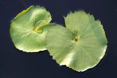 Λουλούδια κρίνων ύδατος στοκ φωτογραφίες με δικαίωμα ελεύθερης χρήσης