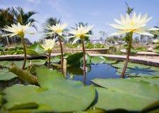 Λουλούδια κρίνων ύδατος Στοκ Εικόνες
