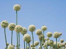 Λουλούδια κρεμμυδιών στοκ φωτογραφίες