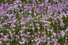 λουλούδια κρόκων ταπήτων Στοκ Εικόνα