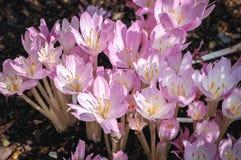 Λουλούδια κρόκων φθινοπώρου στοκ εικόνα με δικαίωμα ελεύθερης χρήσης