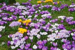 λουλούδια κρόκων Στοκ Εικόνες