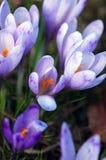 λουλούδια κρόκων Στοκ Εικόνα