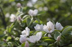 Λουλούδια κυδωνιών της Apple στοκ φωτογραφία