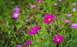 Λουλούδια κόσμου με το μαλακό φως ημέρας Στοκ φωτογραφία με δικαίωμα ελεύθερης χρήσης