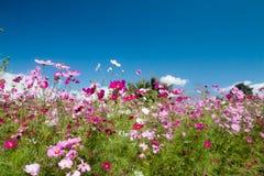 Λουλούδια κόσμου με το φως του ήλιου Στοκ Εικόνες