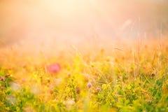 Λουλούδια λιβαδιών στον ήλιο πρωινού Στοκ Φωτογραφίες