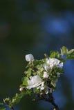 Λουλούδια μήλο-δέντρων. Μια φυσική ανασκόπηση Στοκ Εικόνα