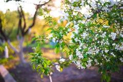 Λουλούδια μήλων άνοιξη στον κήπο κάτω από το φως του ήλιου, λουλούδι άνοιξη Στοκ εικόνα με δικαίωμα ελεύθερης χρήσης