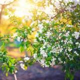 Λουλούδια μήλων άνοιξη στον κήπο κάτω από το φως του ήλιου, λουλούδι άνοιξη Στοκ εικόνες με δικαίωμα ελεύθερης χρήσης