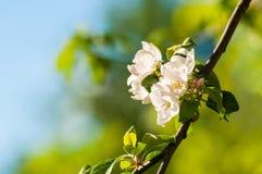 Λουλούδια μήλων άνοιξη στον κήπο κάτω από το φως του ήλιου, υπόβαθρο λουλουδιών άνοιξη Κλάδος δέντρων της Apple με τα ανθίζοντας  Στοκ Εικόνα