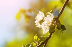 Λουλούδια μήλων άνοιξη στον κήπο κάτω από το φως του ήλιου, υπόβαθρο λουλουδιών άνοιξη Κλάδος δέντρων της Apple με τα ανθίζοντας  Στοκ Εικόνες
