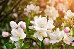 Λουλούδια μήλων άνοιξη στο άνθος αναμμένο από το μαλακό φως του ήλιου - αναπηδήστε το floral υπόβαθρο Στοκ Εικόνες