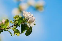 Λουλούδια μήλων άνοιξη στο άνθος - υπόβαθρο λουλουδιών άνοιξη ενάντια στο μπλε ουρανό Στοκ Φωτογραφίες