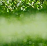 λουλούδια μήλων Στοκ Εικόνα