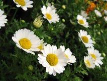 λουλούδια μαργαριτών άνθισης Στοκ Εικόνα