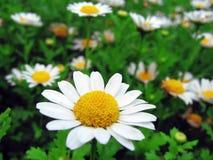 λουλούδια μαργαριτών άνθισης Στοκ Φωτογραφίες
