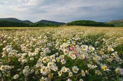 Λουλούδια μαργαριτών άνοιξη στο λιβάδι Στοκ εικόνες με δικαίωμα ελεύθερης χρήσης
