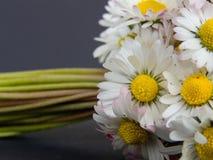 λουλούδια μαργαριτών δ&epsil Στοκ Φωτογραφίες