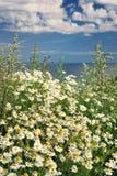 λουλούδια μαργαριτών Στοκ Φωτογραφία