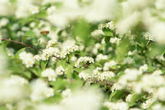 λουλούδια μελισσών Στοκ Εικόνες