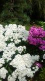 Λουλούδια με το δέντρο πεύκων στο υπόβαθρο στοκ εικόνες με δικαίωμα ελεύθερης χρήσης