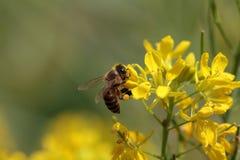 Λουλούδια μιας μελισσών επιλογής Στοκ φωτογραφία με δικαίωμα ελεύθερης χρήσης