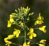 Λουλούδια μουστάρδας Στοκ φωτογραφία με δικαίωμα ελεύθερης χρήσης