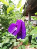 Λουλούδια μπιζελιών στοκ φωτογραφία