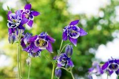 Λουλούδια μπλε Aquilegia Aquilegia vulgaris σε ένα βεραμάν υπόβαθρο Στοκ εικόνες με δικαίωμα ελεύθερης χρήσης