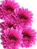 λουλούδια νταλιών στοκ φωτογραφίες