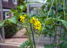 Λουλούδια ντοματών στο μίσχο στο θερμοκήπιο στοκ φωτογραφίες με δικαίωμα ελεύθερης χρήσης