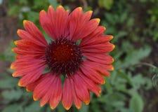Λουλούδια, ομορφιά, που απομονώνεται, σχέδιο, ευχετήριες κάρτες, πασχαλιά, κόκκινο, διακοπές, καλοκαίρι, ζωηρόχρωμο, υπόβαθρο, κρ στοκ εικόνα με δικαίωμα ελεύθερης χρήσης