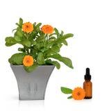 λουλούδια ουσίας calendula Στοκ Εικόνα