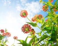 Λουλούδια πέρα από το μπλε ουρανό. Λουλούδι της Zinnia Στοκ Φωτογραφία