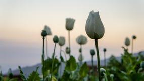 Λουλούδια παπαρουνών οπίου Στοκ φωτογραφίες με δικαίωμα ελεύθερης χρήσης