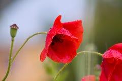 Λουλούδια παπαρουνών που καλύπτονται στις πτώσεις νερού στοκ εικόνες με δικαίωμα ελεύθερης χρήσης