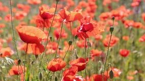 Λουλούδια παπαρουνών που ταλαντεύονται σε ένα μπουρίνι του αέρα Ένας τομέας των παπαρουνών απόθεμα βίντεο