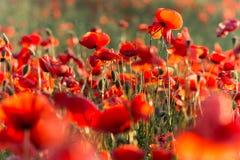 Λουλούδια παπαρουνών στην ηλιοφάνεια Στοκ Εικόνες