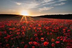 Λουλούδια παπαρουνών στο ηλιοβασίλεμα Στοκ Φωτογραφία