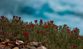 Λουλούδια παραλιών Στοκ Φωτογραφίες