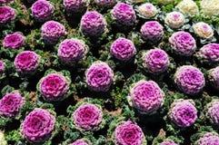 λουλούδια πεδίων λάχανω Στοκ εικόνα με δικαίωμα ελεύθερης χρήσης